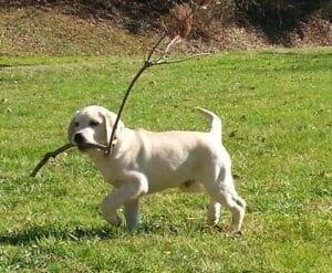 A yellow Labrador holding a stick