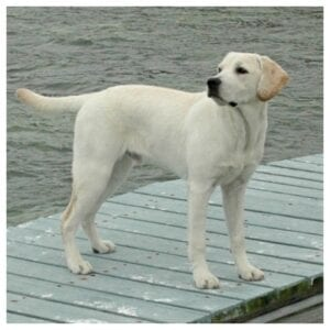 A yellow Labrador standing