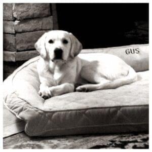 A yellow Labrador on a cushion