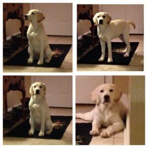 A four boxed images of a yellow Labrador