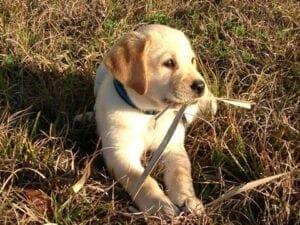 A yellow Labrador on grass