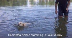 A yellow Labrador swimming