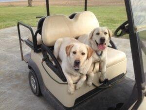A yellow Labrador in a golf cart