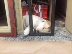 A yellow Labrador sleeping