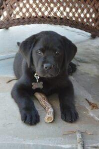 A black Labrador facing the camera