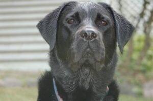 An adult black Labrador