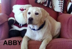 A yellow Labrador on a red couch