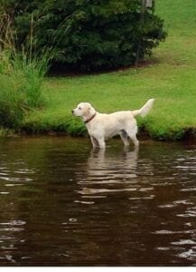 A yellow Labrador at the edge of the water