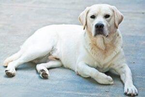 A yellow Labrador on ground