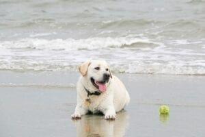 A yellow Labrador at the beach with a tennis ball