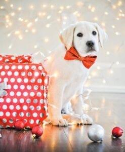A Labrador retriever in front of Christmas lights