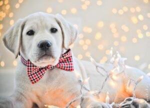 A Labrador retriever with Christmas lights