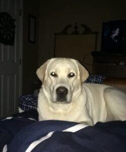 A Labrador retriever lying on a bed