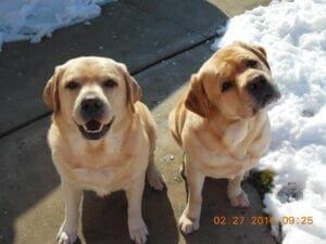 Two yellow Labrador retrievers near snow