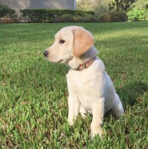 A puppy sitting on trimmed grass