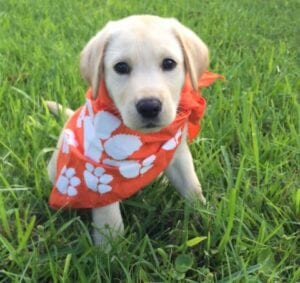 A puppy with a handkerchief