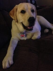 A yellow Labrador on a couch