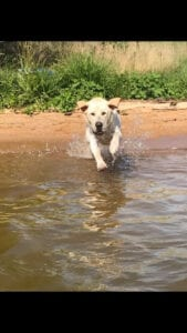 A dog running into the water