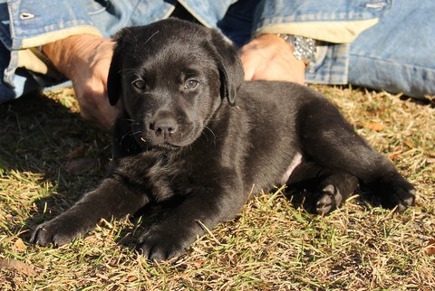 A black puppy lying on the ground