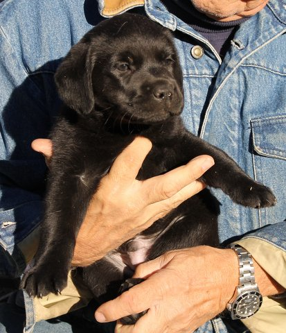 A black puppy being carried