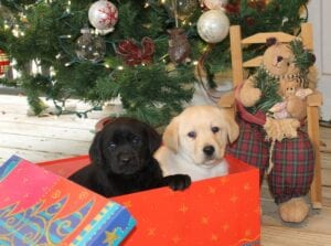 Two puppies inside a Christmas box