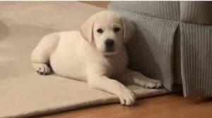 A puppy near a sofa
