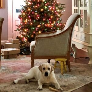 A dog with a Christmas tree behind it