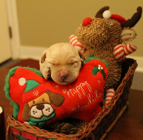 A puppy among Christmas decorations