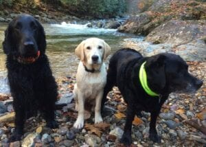 Two black dogs and one yellow dog