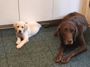A brown dog next to a puppy