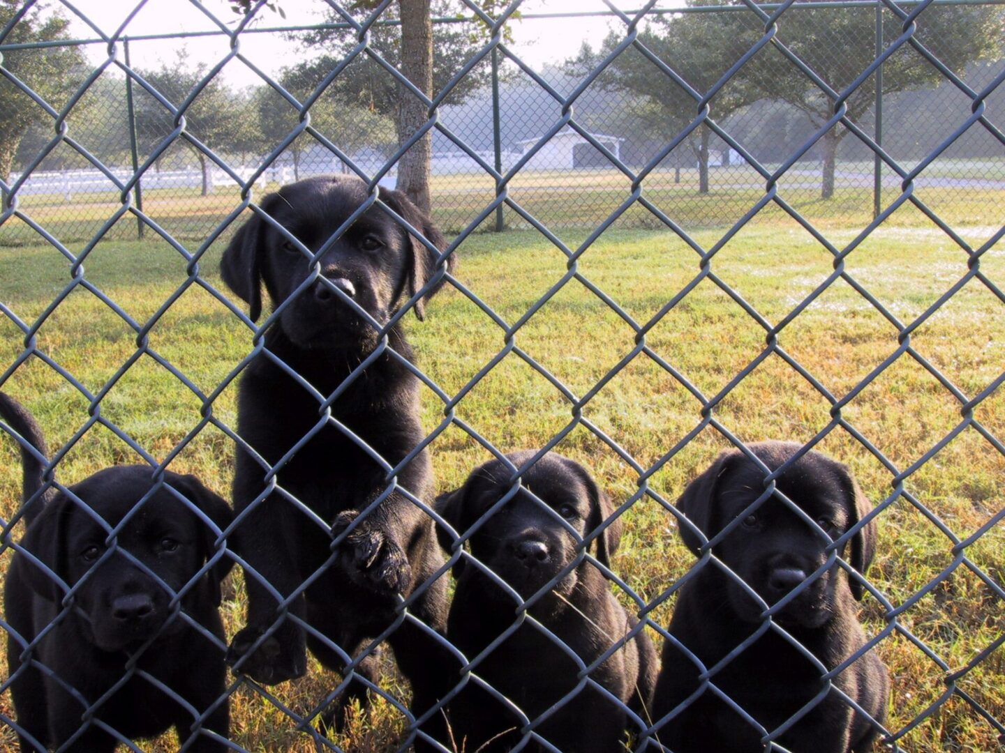 Four black puppies behind a fence