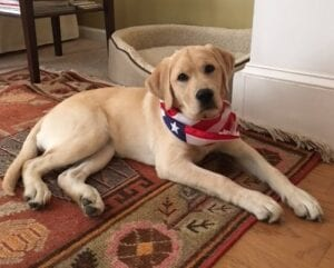 A dog with a patriotic scarf