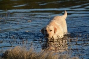 A dog wading in the water towards the shore