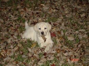 A puppy lying on fallen leaves