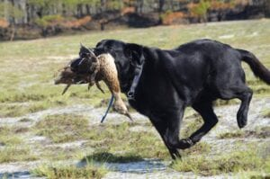 A dog catches a wild duck