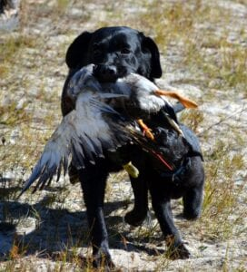 A black dog running with a dead duck