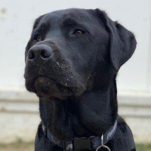 A black dog with a dark blue collar
