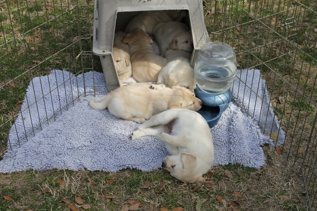 Sleeping puppies in and out of a crate
