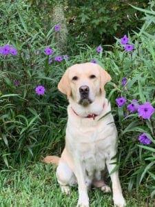 A dog near purple flowers