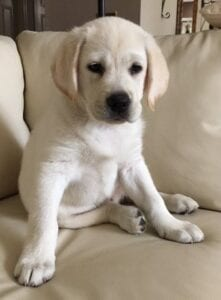 A puppy on a beige colored couch
