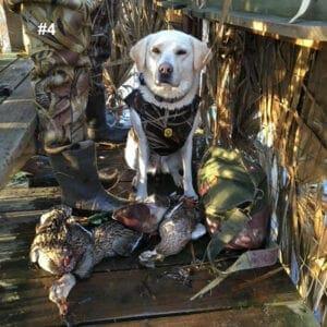 A dog near dead ducks