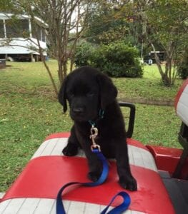 A black puppy on a red seat