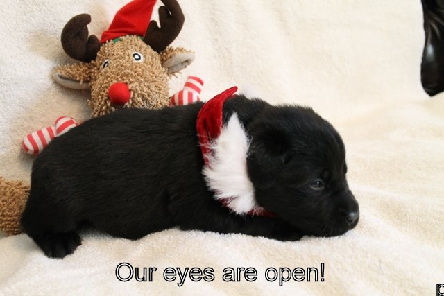 A black puppy opening its eyes
