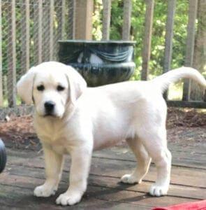 A white puppy on a wooden platform