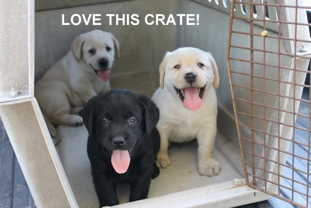 Three puppies inside a crate