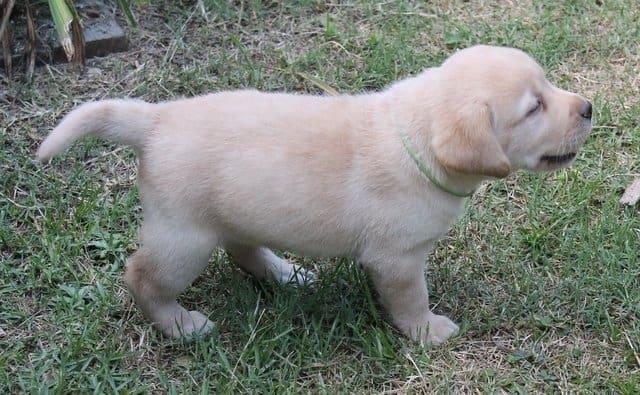A yellow puppy walking