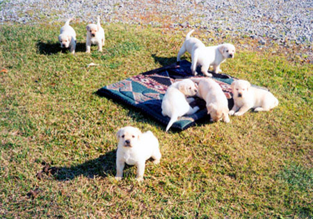 A group of puppies roaming around