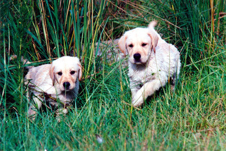 Two puppies in the grass