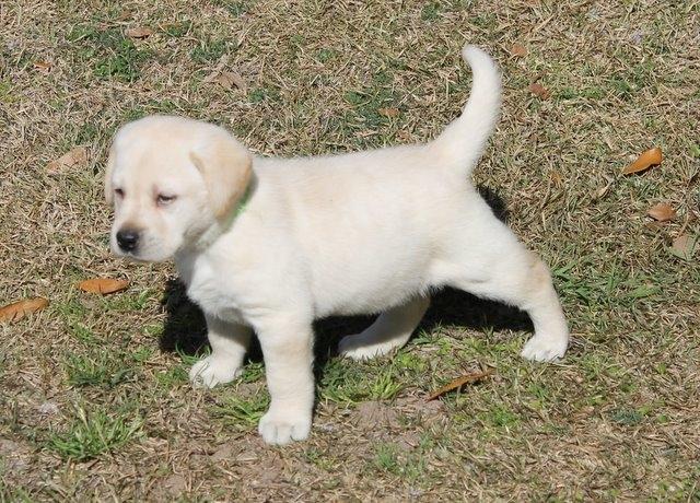 A puppy standing on grass