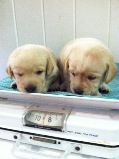 Two puppies on a weighing scale